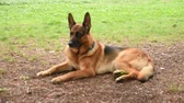 овчарка : German shepherd at the park in Rome