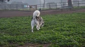 ハスキー : alaskan malamute dog, running happy at the park in Rome