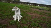 siberische husky : alaskan malamute dog, running happy at the park in Rome