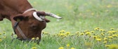 kırsal bölge : Close up of brown cow with white patches, eating grass. Field with yellow flowers. Cow facing right. Stok Video