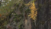 nyírfa : Small birch with yellow leaves growing on a rock