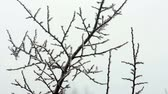 geada : Branches sway in hoarfrost on a light wind Stock Footage