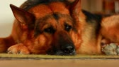 овчарка : Large dog breed German Shepherd sleeping on the carpet in the house during the day Стоковые видеозаписи