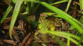 жаба : Big green frog sitting in the rushes and looking the camera