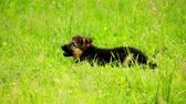 овчарка : German Shepherd puppy playing in the yard Стоковые видеозаписи