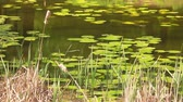 zvěř a rostlinstvo : Reeds and lilies grow in the middle of the lake