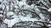 paisagem : Snow on the branches
