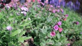 garden flowers : Pan on a motorized slide of purple and pink flowers in spring