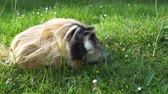 каштановые волосы : Guinea pig outside eating grass. Slow motion. Close up. Summertime