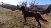jachthonden : Playful beautiful brown irish setter standing outdoors after having fun. Slow motion. 4K Stockvideo