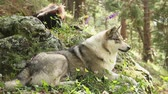werewolf : Beautiful grey wolf laying on the rocks, having rest, wildlife