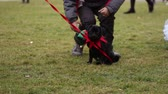 timid : Little boy playing with cute black pug, man training puppy to walk on leash