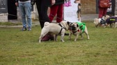 timid : Pugs sniffing each other to get acquainted, many people walking dogs outdoors Stock Footage