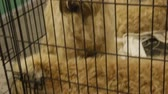 doghouse : Cute fluffy Soft-Coated Wheaten Terrier puppies sitting in cage at pet kennel