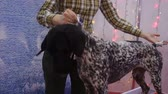 özveri : Obedient German Shorthaired Pointer standing on table at dog show, trained pet Stok Video