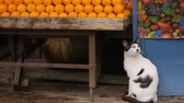 kifutón : Nice cats living in the outdoor market, sitting under fruits stand and baskets