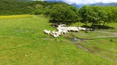 ovelha : Drone flight over cows and sheep grazing on green lawn, herding and farming