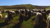 perseguição : Point of view of shepherd dog chasing flock of sheep in green valley, breeding