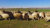 ovelha : Flock of sheep and goats grazing on lush green field, animal breeding, farming