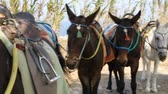 осел : Several donkeys standing in shadow, equipped with saddle, stirrup to be ridden
