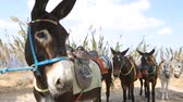 обычай : Face of donkey tied up to tree, line of animals standing behind, transportation Стоковые видеозаписи