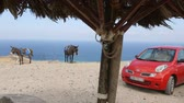 осел : Donkeys standing tied up to pole against seascape, modern car parked under tree