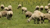 yünlü : Flock of sheep peacefully eating luscious green grass, grazing on summer meadow
