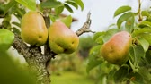 капля : Pear trees on village farm near private house, organic fruit, vegetarian food