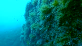 pedregulhos : Little fish swimming along cliff side covered submerged moss. Stock Footage