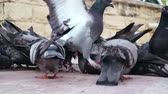 poep : Flock of pigeons eating bread at central city square, unsanitary conditions
