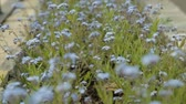 değil : Small forget-me-not fearfully trembling in wind symbol of constancy and fidelity Stok Video