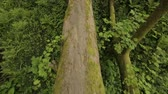 vertical growth : Huge tree lying on ground, blocking passage, consequences of hurricane, disaster Stock Footage