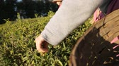 ceilão : Experienced man following technology of drying tea leaves traditional production Stock Footage