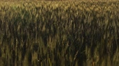 fungal : Dark wheat stems, plant diseases, crops after insects invasion, poor harvest. Stock Footage
