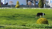 houseless : Stray miserable hungry and thirsty dog walking alone in park, homeless animal Stock Footage