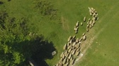 mutton : Flock of sheep moving from paddock in mountains, cattle breeding, organic wool