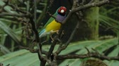 facing : Lady Gouldian finch, little colorful bird hopping on tree branches, exotic pets