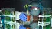 plant fertilizer : Biologist examining corn plant in laboratory, conducting GMO experiment, food