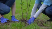 reforestation : Two volunteers planting tree together, environmental project participation