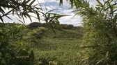 ormanlar : Time Lapse of Bamboo Forest Stok Video