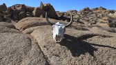 koponya : Cow Skull Reflection in the Desert- Time Lapse