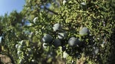 borovice : Blueberries