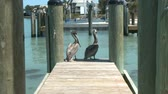 причал : Pelicans on a Dock - Time Lapse