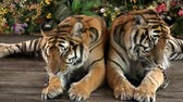 thai : Tigers at Wildlife Park Thailand