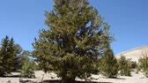 halott : Ancient Bristlecone Pines