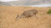 оленьи рога : Deer grazing in Point Reyes California