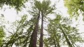 coniferous trees : Giant Trees in California