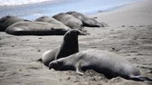korumalı : Elephant Seals in California Stok Video
