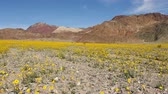 jedzenie : Pan - Death Valley Desert Flower Super Bloom - Spring Wideo
