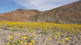 jedzenie : Dolly - Death Valley Desert Flower Super Bloom - Spring
